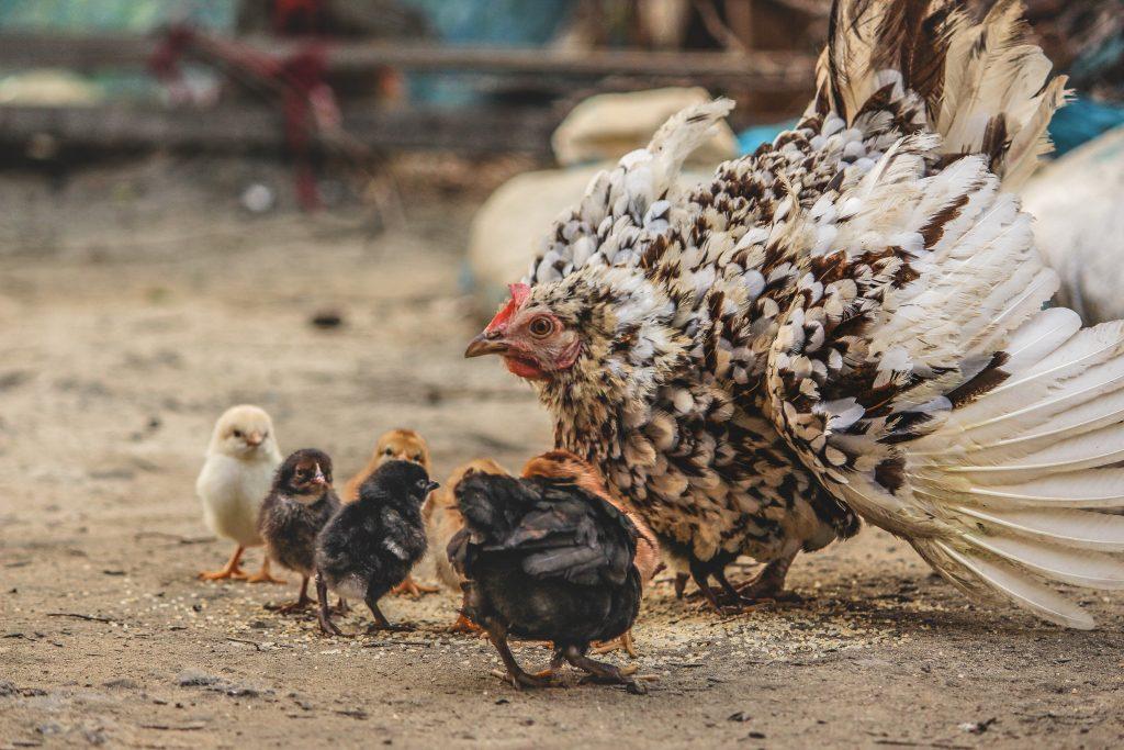 Kippen gaan houden in de winter