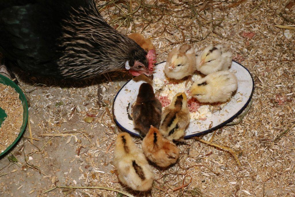 Kippen zelf houden in de stad