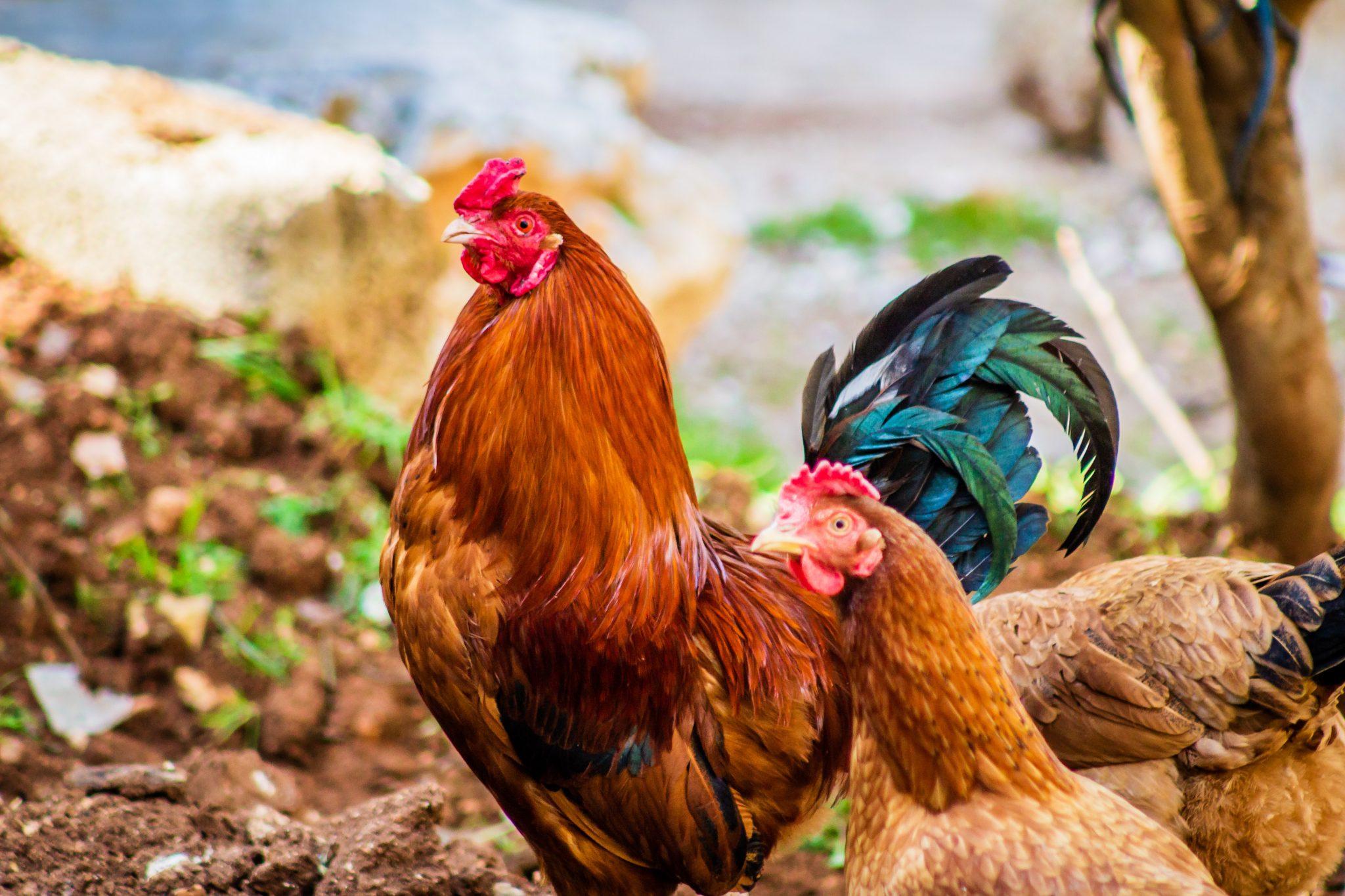 Nachthok kippen zelf maken