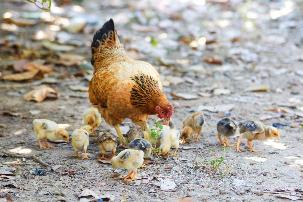 warmteplaat kippen