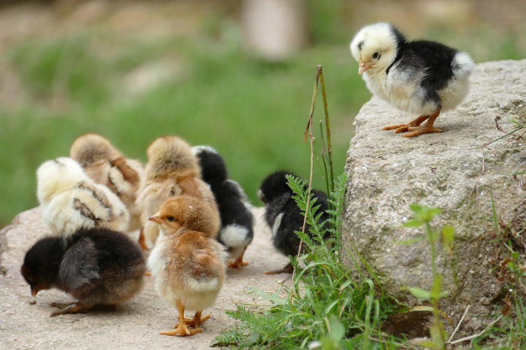 waar kippen kopen