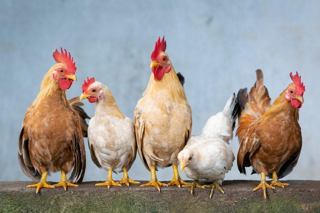 kippen ziek